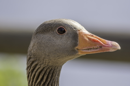 goose head: Close up of a greylag goose (Anser anser) showing the head neck and bill detail.