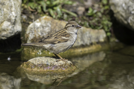 passer by: Female house sparrow (Passer domesticus) standing on a rock in a stream. Stock Photo