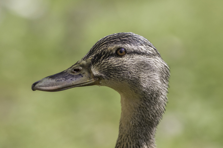 anas platyrhynchos: Female mallard duck, also known as wild duck (Anas platyrhynchos), head in profile. Stock Photo