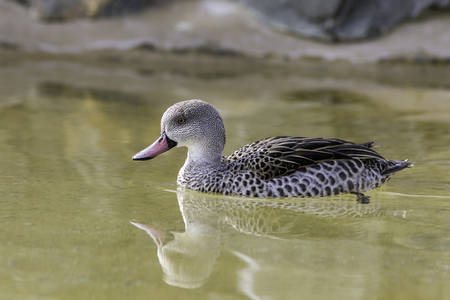 Cape Teal (Anas Capensis) on water