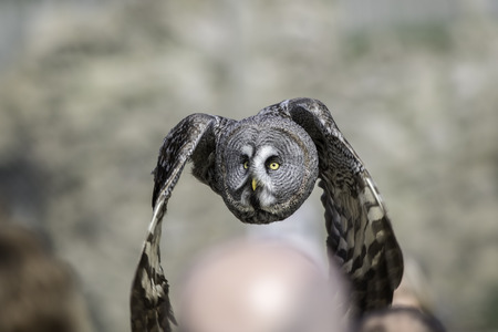 largest: Great Grey - Gray - Owl (Strix nebulosa) flying low over peoples heads at a public bird of prey display Stock Photo