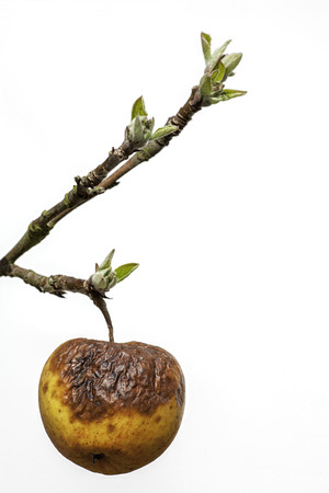 lifecycle: This image symbolises old age as a withered rotten apple clings to a branch with new buds. This has many societal connotations surrounding care of the elderly; age related mental health and the generation gap. It is also a useful picture of an old apple!