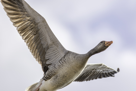 Greylag goose (Anser anse) flying close overhead