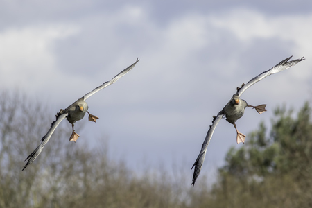 Pair of greylag geese (Anser anser) turning to come in to land.