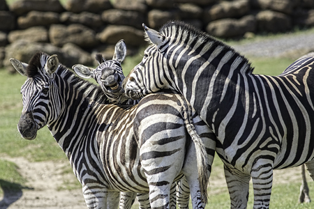clowning: A fun animal image of a family of chapman�s zebra. Mum, dad and a goofy young zebra photobombing in the middle. Stock Photo