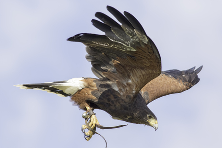 Harriss hawk (Parabutea unicinctus) in flight with falconry jesses and bell 版權商用圖片
