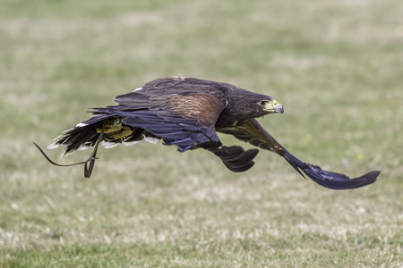 Harriss Hawk (Parabutea unicinctus) flying fast and low to the ground at a bird of prey display