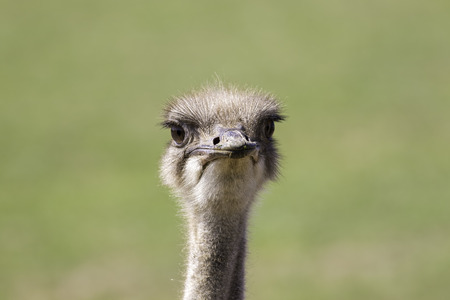 struthio camelus: Goofy ostrich (Struthio camelus) face against plain green background. African wildlife image with copy space. Stock Photo