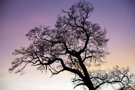 ethereal: Fantasy enchanted tree silhouette against pink sky at sunset. Real photographic image of a tree at sunset. Image has an ethereal magical storybook feel. Stock Photo