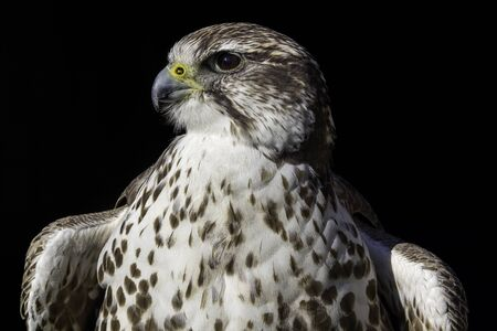 cherrug: A noble Saker Falcon (Falco cherrug) in heraldic pose. Seen here in profile isolated against a black background and as if posed in typical coat of arms fashion.
