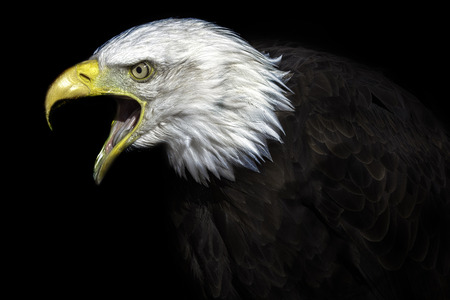 intimidating: A high contrast image of an old American bald eagle. Many connotations of political power and senate. A fierce national bird with political undertones. Stock Photo
