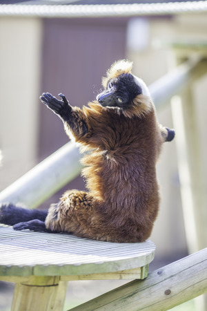Sun worship from a red ruffed lemur (Varecia rubra). Easy to see how this lemur achieved its beautiful bronze sun tan.