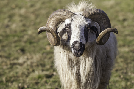 Portrait shot of a Mongolian sheep (Ovis aries). A ram with impressive symmetrical curved horns and a long shaggy wool coat.
