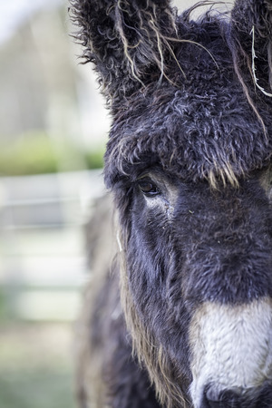 raggedy: Poitou donkey with great hair! Face on with potential copy space to the side.