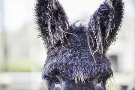 Poitou donkey with a curly hair cut and very hairy ears. A very cool animal.