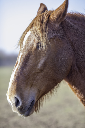 Magnificent chestnut stallion. Rare Suffolk Punch (Equus caballus) horse head in profile. This endangered breed of heavy horse is from East Anglia on the East coast of the UK. Stock Photo