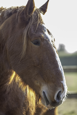 Rare Suffolk Punch (Equus caballus) horse head in profile. This endangered breed of heavy horse is from East Anglia on the East coast of the UK.