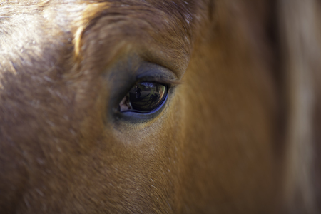 draught horse: Horse eye view. This close up of a horse eye reveals a reflection of the horse�s own view (including its own shadow and, unsurprisingly, a photographer)! Animal vision.