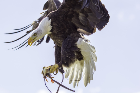 Amazing falconry display. This American bald eagle catches the lure and clasps a food reward after a stoop at speed from height. Majestic bird of prey in action.
