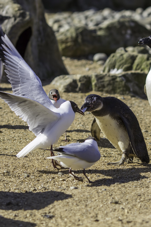 heist: Black-headed gull (Chroicocephalus ridibundus) stealing food from a black-footed penguin (Spheniscus demersus). One fish, two birds, who will win?