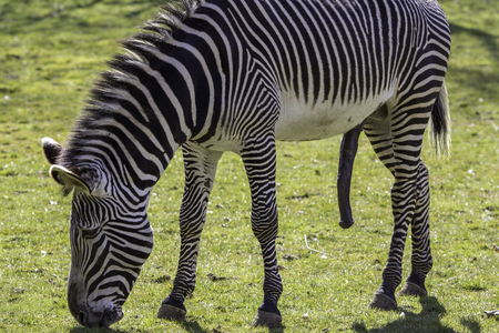 This (male) Grevys zebra (Equus grevyi) is sexually aroused and hung like a donkey! Although grazing, its large penis suggests that it may be thinking about mating and sex.