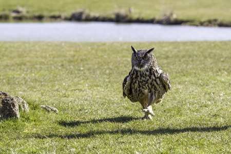 Male European or Eurasian eagle-owl walking on the ground. This owl has a comical walk as it makes its way across a grass field by a lake.