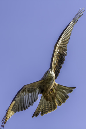 manoeuvre: Close up of a red kite (Milvus milvus) in flight manoeuvring in the air. With prey on the wing. Flying against a plain blue sky background providing copy space.