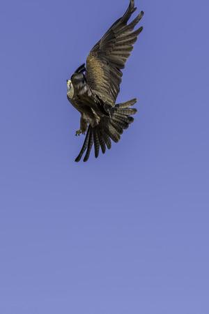 Aerial aerobatics by a red kite (Milvus milvus) bird of prey maneuvering in flight. Plain blue sky provides copy space.
