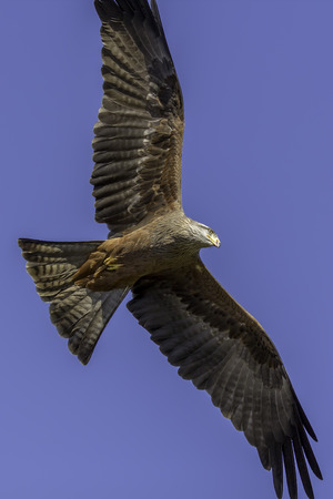 wingspan: Directly below a red kite bird of prey flying against a blue sky. Showing the amazing wings and feathers of this amazing aerial predator in flight.