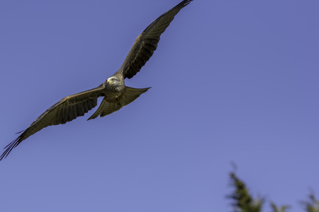 Red kite bird of prey flying against a plain blue sky. Beautiful wildlife success story poster image with copy space.