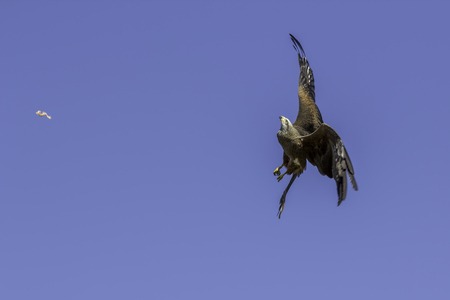 Bird of prey at high speed catching food catapulted in the air. An amazing display of aerobatic agility.