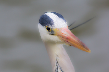 Grey Heron (Ardea cinerea) soft focus image (selective focus on eye), Serene dreamy image with blurred background copy space.