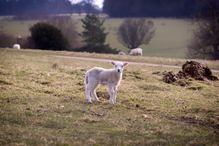 Beautiful angelic baby lamb separated from mother and lost on an English countryside hillside. Stock Photo