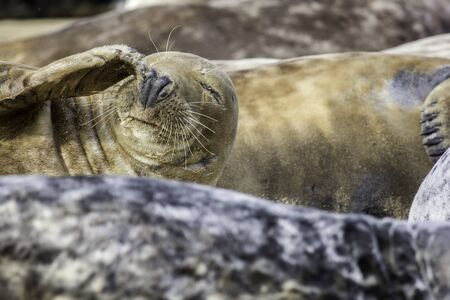 duh: Seal dealing with sand in the eye. This grey seal (with brown fur) is dealing with sand in the eye. Bad day funny animal meme potential.