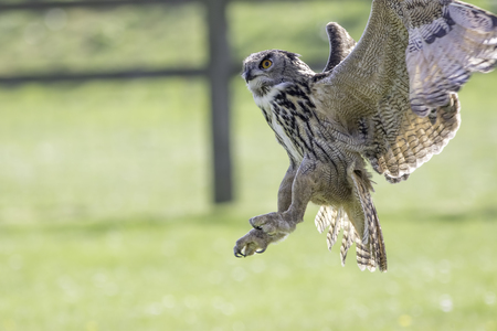 European eagle owl distracted just before coming in with talons ready to catch prey. Magnificent bird against natural blurred background with copy space.