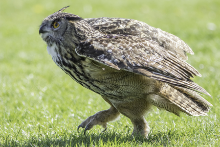 European or Eurasian Eagle Owl (Bubo bubo) bird of prey walking on grass. Close up in profile of this predator on the ground.