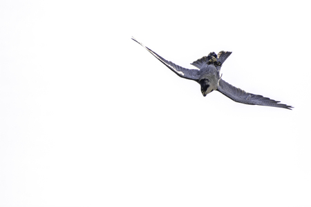 Wanderfalke (Falco peregrinus) Raubvogel auf den Kopf gestellt Jagd bücken. Schnelles Tauchen durch das schnellste Tier der Welt. Hier nähert sich 200 mph oder 320 km / h. Einfacher weißer Hintergrund mit Kopienraum. Standard-Bild