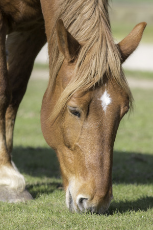 Suffolk Punch chestnut horse grazing. Close up of the head of this beautiful working animal. Stock Photo