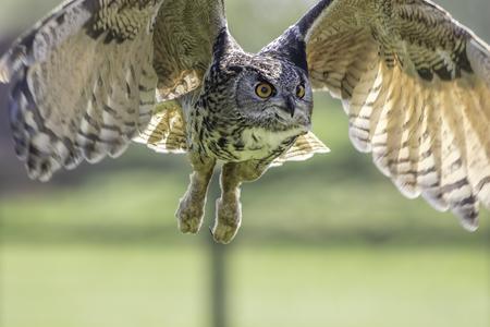 European eagle owl (Bubo bubo) bird of prey in flight with wings raised. Stock Photo