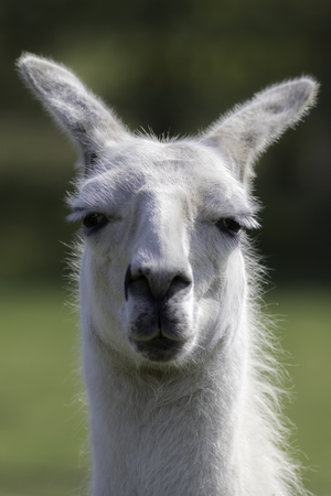 White llama portrait. Selective focus on dopey eyes. Stoned care free expression.