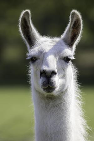 White llama (Lama glama) portrait. Focus on eyes.