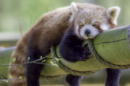 Red Panda Sleeping. Cute animal taking an afternoon nap.