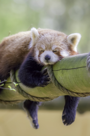 Red Panda Sleeping. This cute nocturnal animal asleep Stock Photo