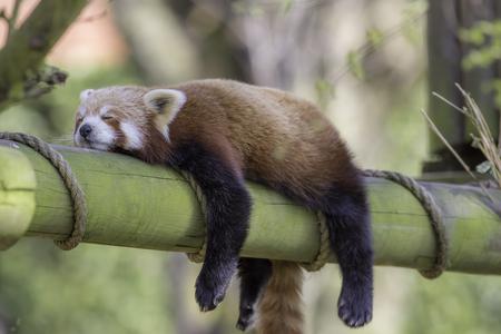 잠자는 레드 팬더 (Ailurus fulgens). 오후 siesta 동안 자 고하는 빨간 팬더의 재미 있은 귀여운 동물 이미지.