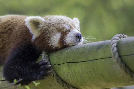 Close up of a red panda sleeping. Exhausted cute animal shown zonked out on a log. Stock Photo
