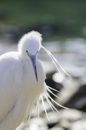Little egret (Egretta garzetta) white wading bird. Beautiful snow white type of heron. Blurred background with copy space