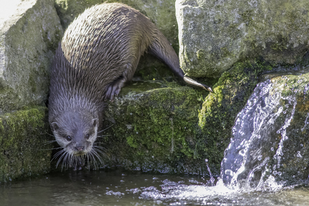 Riverside wildlife. Asian small clawed otter (Aonyx cinerea) by waterfall in stream. Approaching water looking at camera. Stock Photo