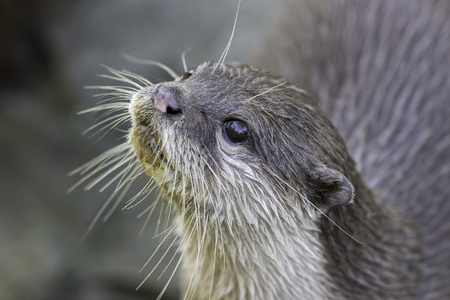 Close up of an otter face looking up. Small cute river animal.