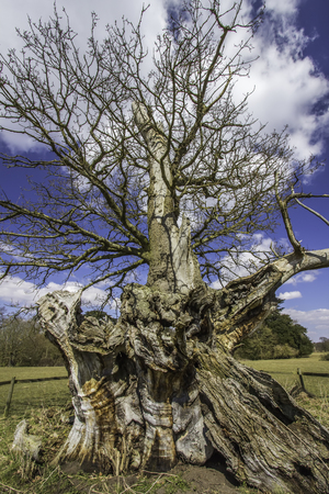 Gnarled twisted trunk of an ancient oak tree. 700 year old ancient hollow oak tree from Suffolk in the UK.  Stock Photo