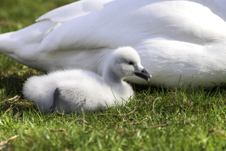 Cute baby swan, Black necked swan cygnet laying down with its mother. Stock Photo